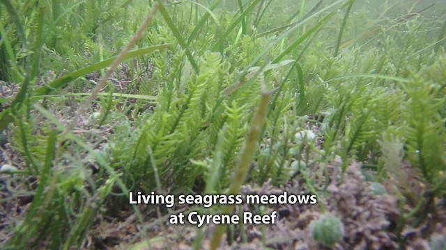 Living seagrass meadows of Cyrene Reef
