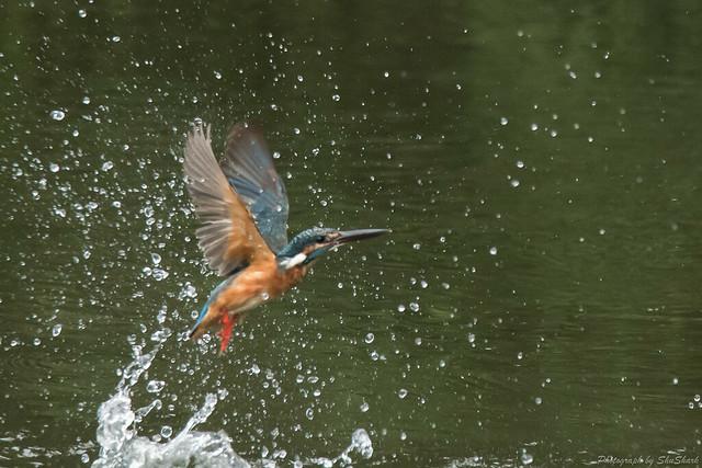 20170826-Kingfisher-DSC_0909