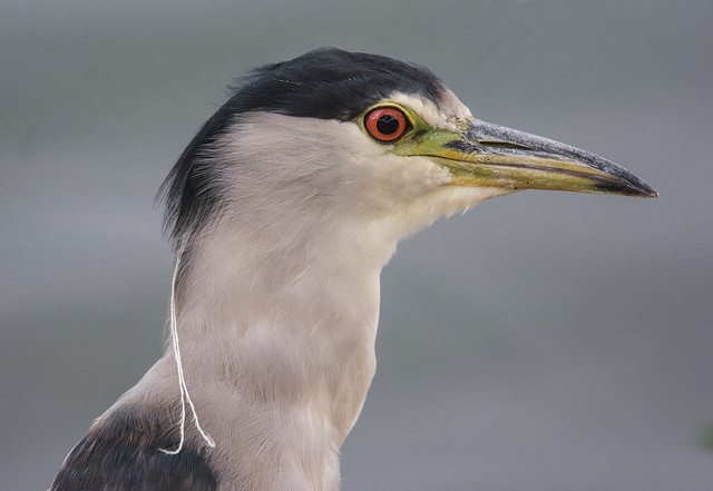 Black-crowned Night Heron Nycticorax, Nikon D7100, AF-S Nikkor 300mm f/4E PF ED VR