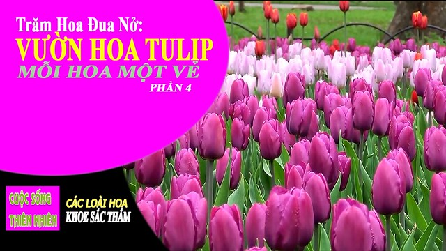 cuoc-song-thien-nhien-vuon-hoa-tulip-phan-4