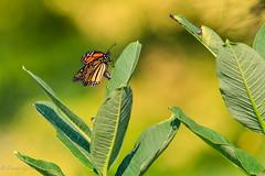Female Monarch Laying Eggs