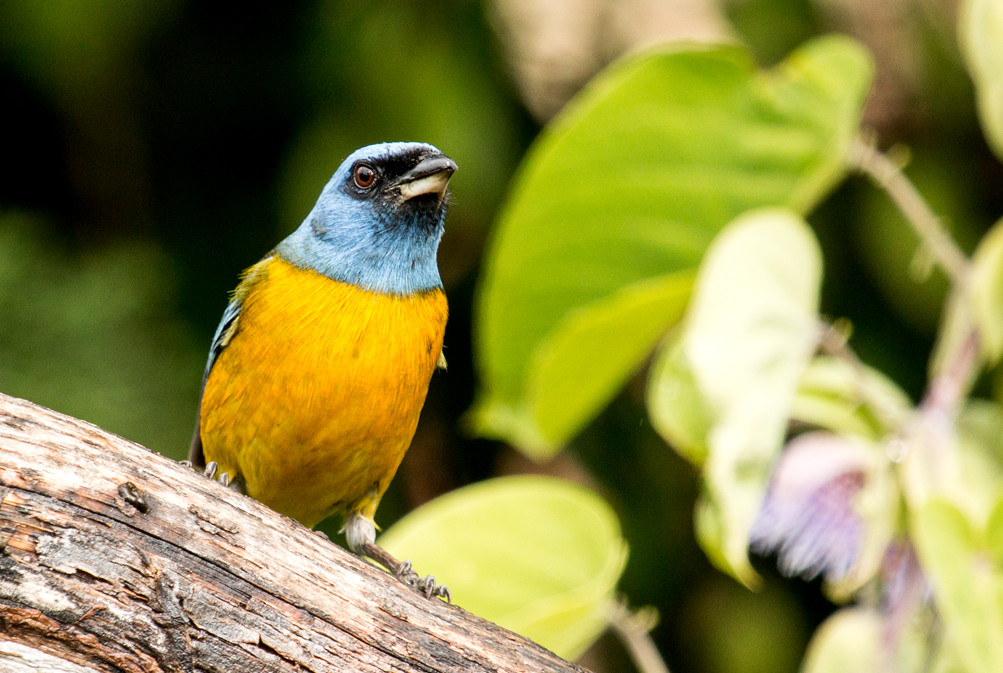 IMG_2010  Blue-and-yellow Tanager