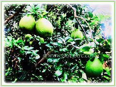 Prolific fruit-bearing tree of Citrus maxima (Pomelo, Pomello, Pummelo, Limau Bali/Besar in Malay), 20 Sept 2017