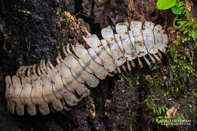 White flat-backed millipede (Polydesmida) - DSC_7884