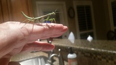 PRAYING MANTIS ON HAND