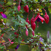 fuschia_edited-1