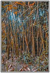 Nature - Bamboo Beauty - Barbados.