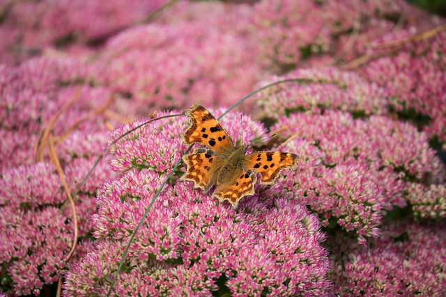 Autumn,  punctuated by a Comma