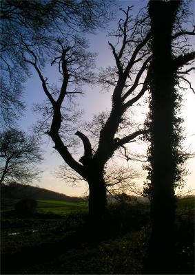 a Trees in Silhouette