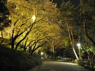 千葉公園 野球場の夜桜04