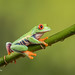 Red-eyed tree frog D75_7175.jpg