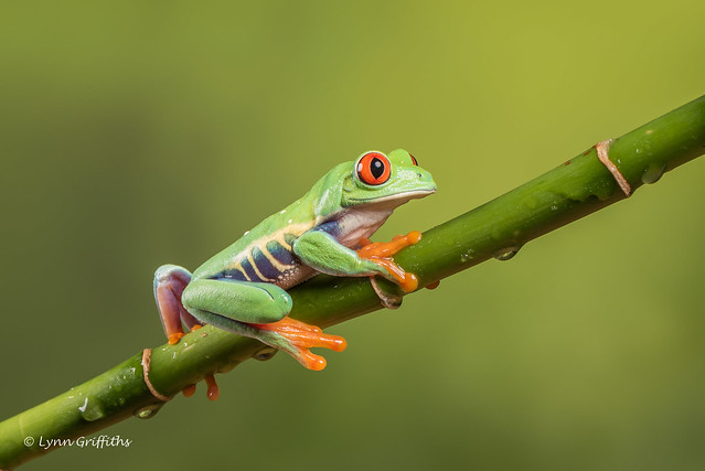 Red-eyed tree frog D75_7175.jpg