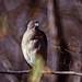 Small photo of Shikra (Accipiter badius cenchroides)