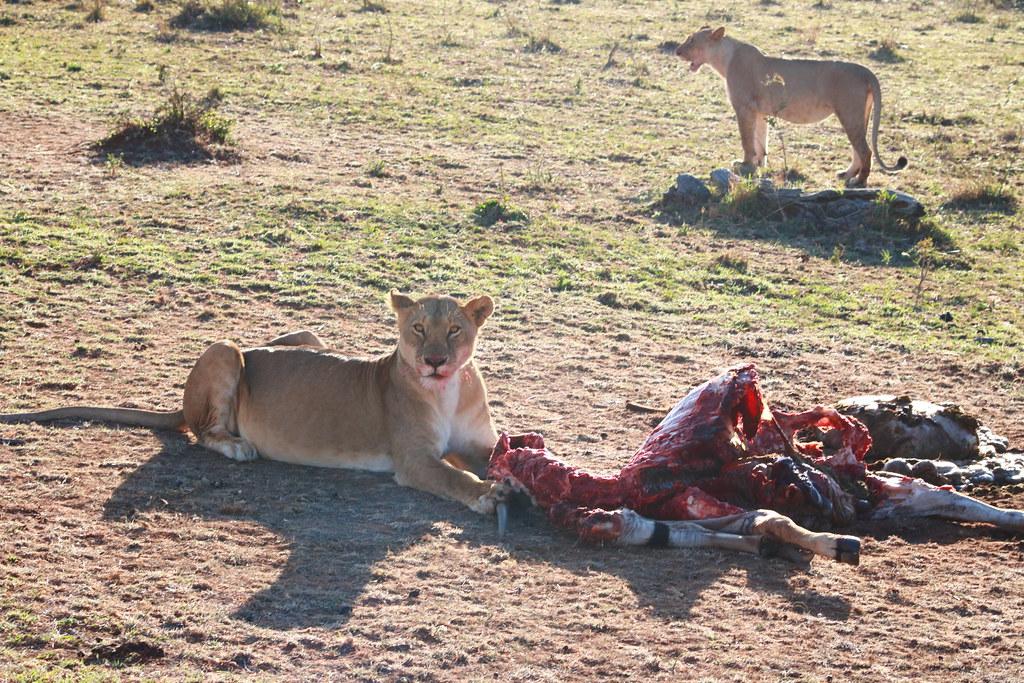 Lion with Eland kill