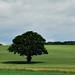 Tree at Bonnington