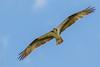 Pandion haliaetus | Osprey by danielplow