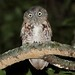 Young Eastern Screech-Owl (Megascops asio) by Steve Byland