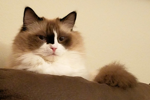 Johnny, my ragdoll!