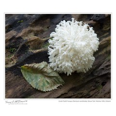 Comb Tooth Fungus (Hericium coralloides), Bruce Trail, Mulmur Hills, Ontario