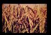 Photo:ごまはがれ病による穂枯れ病 By JIRCAS