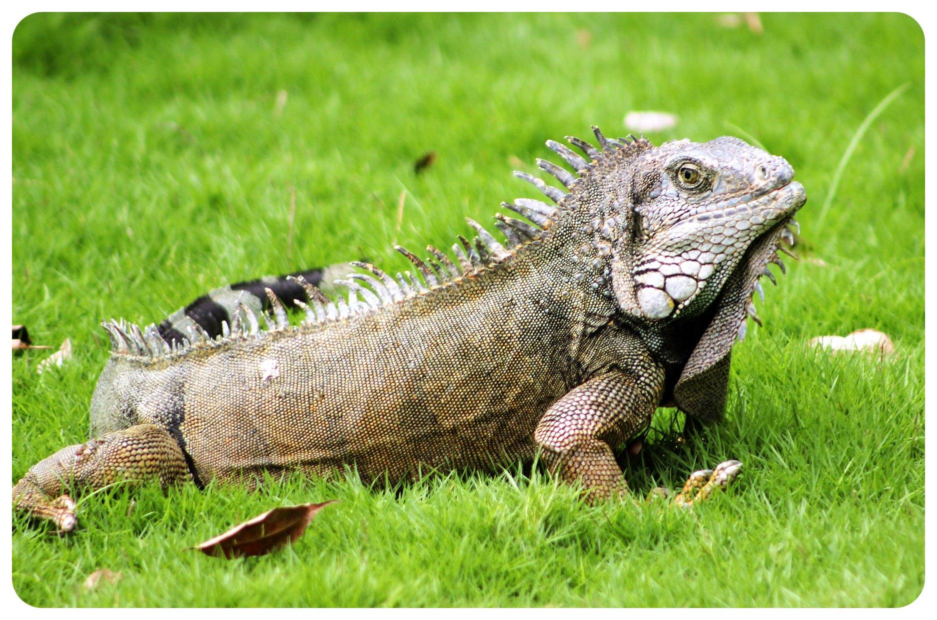 guayaquil iguana