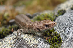 Zootoca vivipara (tiny juvenile)