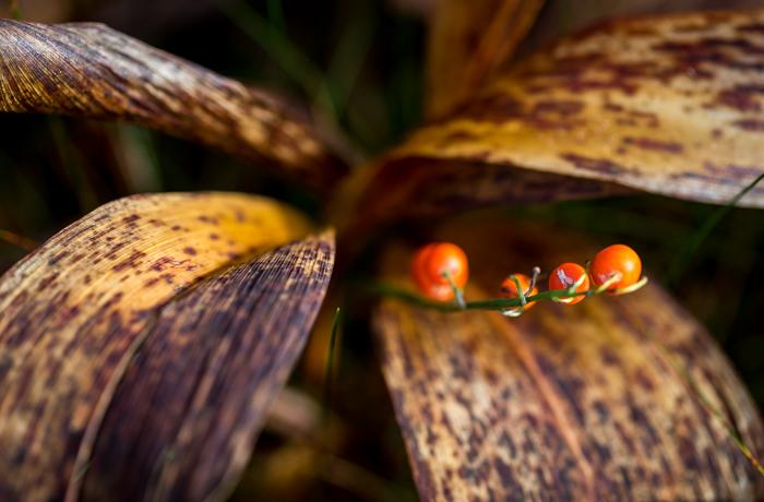 syksy syyskuu kuollut kasvi oranssi marja (1 of 1)