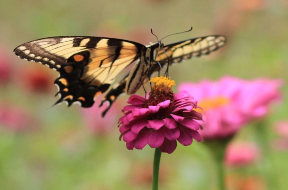 Swallowtail butterfly on pink zinnia. I plant these flowers every year where I work. The butterflies flock to them.