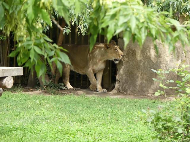 Asiatischer Löwe, Zoo Prag
