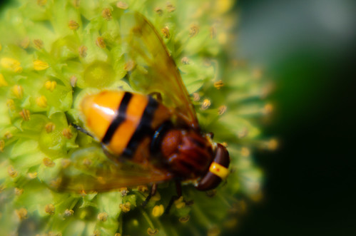 Hornet hoverfly, ivy flower