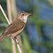 Reed Warbler, Acrocephalus scirpaceus