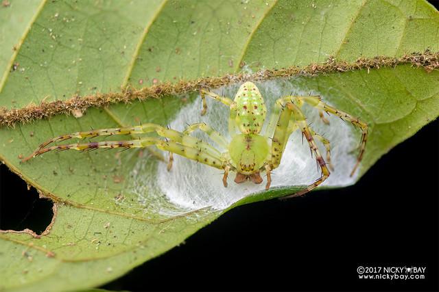 Crab spider (Epidius sp.) - DSC_9125