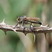 Asilus crabroniformis - Robber Fly
