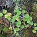 Hydrocotyle sp. (Apiaceae) by Edgar Heim