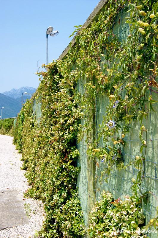 Забор, оплетенный пассифлорой