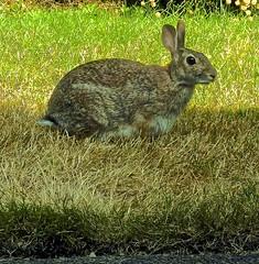 Rabbit, in the back garden!