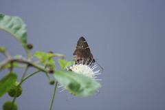 Possible Confused Cloudywing