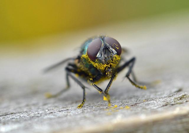 ragwort pollen gets everywhere