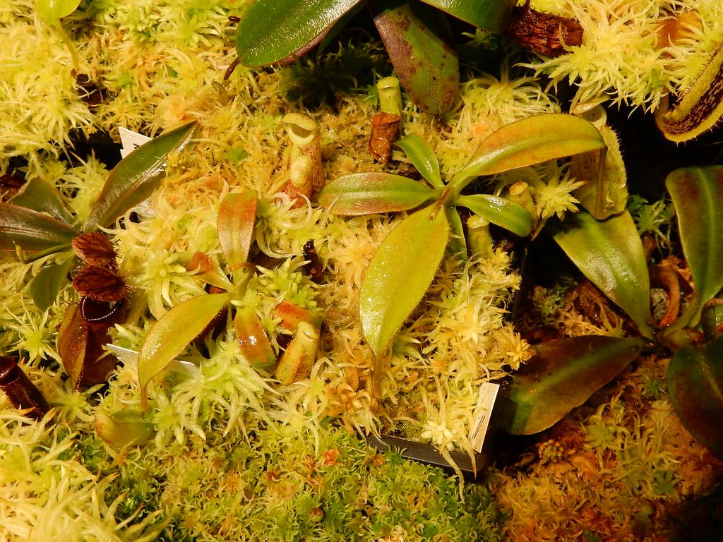 Nepenthes burbidgeae
