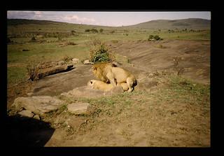 Mating Of Lyons = ライオンの交尾