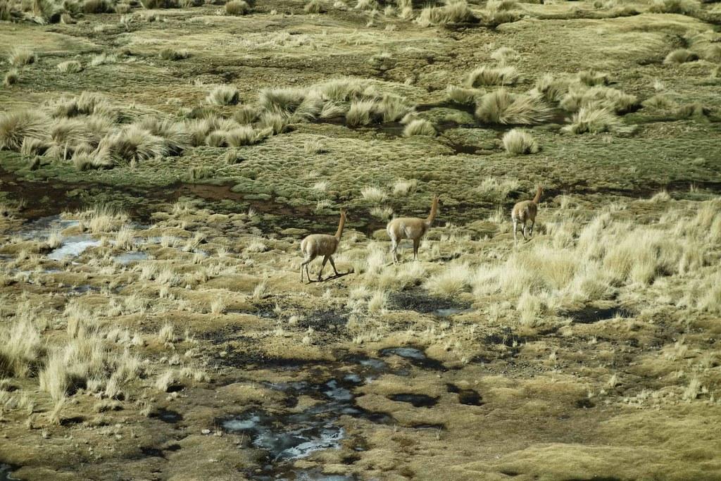 San Pedro Atacama - Geysers del Tatio - Vicuna 6