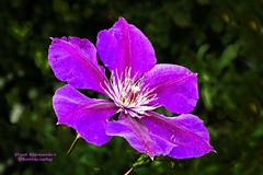 Unidentified Purple Flower at the Queens, N.Y. Botanical Garden