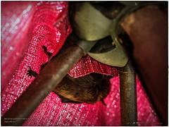 2017-08-31_P8313907c_Bat in umbrella,Clwtr