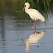 Small photo of African spoonbill