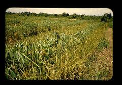Inter Cropping Of Uplandrice And Cassava = 陸稲とキャツサバの間作