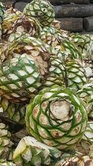 "agave ""piñas"" ready to bake"
