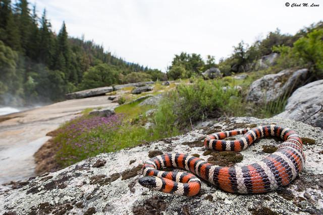 California Mountain Kingsnake (Lampropeltis zonata) Explored!