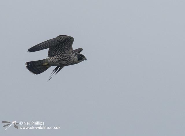 Peregrine falcon-5