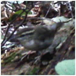 Japanese bush warbler