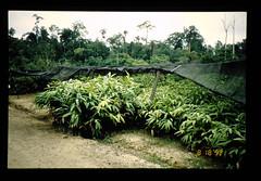 Seedlings Of Rattan = ラタンの苗木